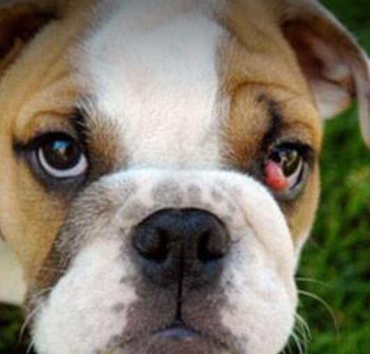 bulldog with cherry eye