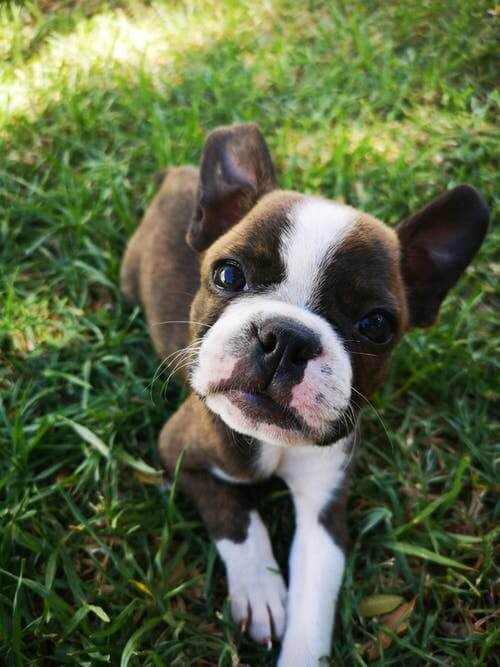 boston terrier in grass