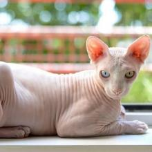 Sphynx Cat Breed Info