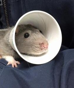 Rat with homemade E-Collar